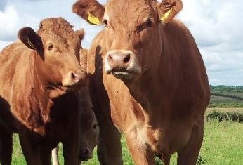 Weak demand continues to impact on cattle prices – Bord Bia