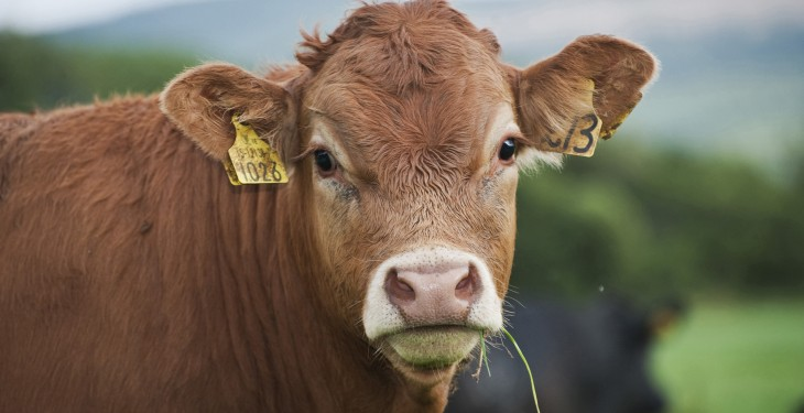 The term 'nomad' cattle is an insult to Irish livestock farmers