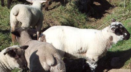 Surge in spring lamb supply drives sheep kill up 15% in a week