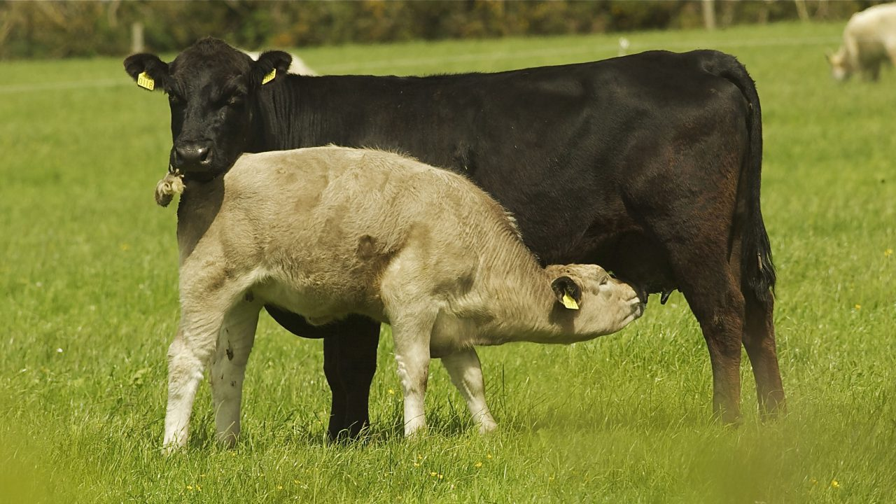 Late pregnancy management of sucklers is hugely important, says Teagasc