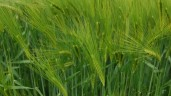 Why is malting barley not being treated as a premium crop?