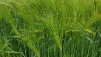 BYDV: The growth of a serious barley problem in the south-east