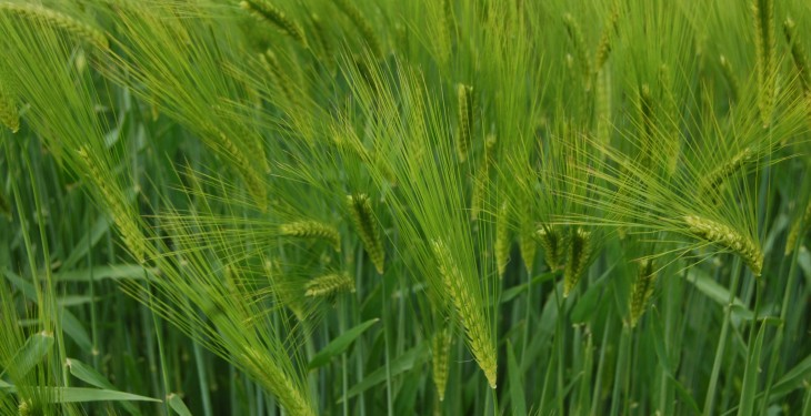 Spring barley – a tale of two crops