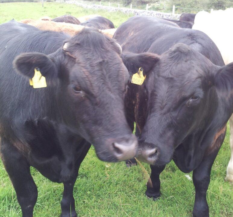 Cattle trade steady despite high supplies – Bord Bia