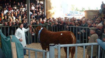 ICBF to sell off 10 Gene Ireland AI bulls