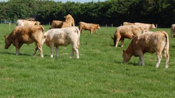 Keep an eye out for bloat in cattle on lush, high-clover swards