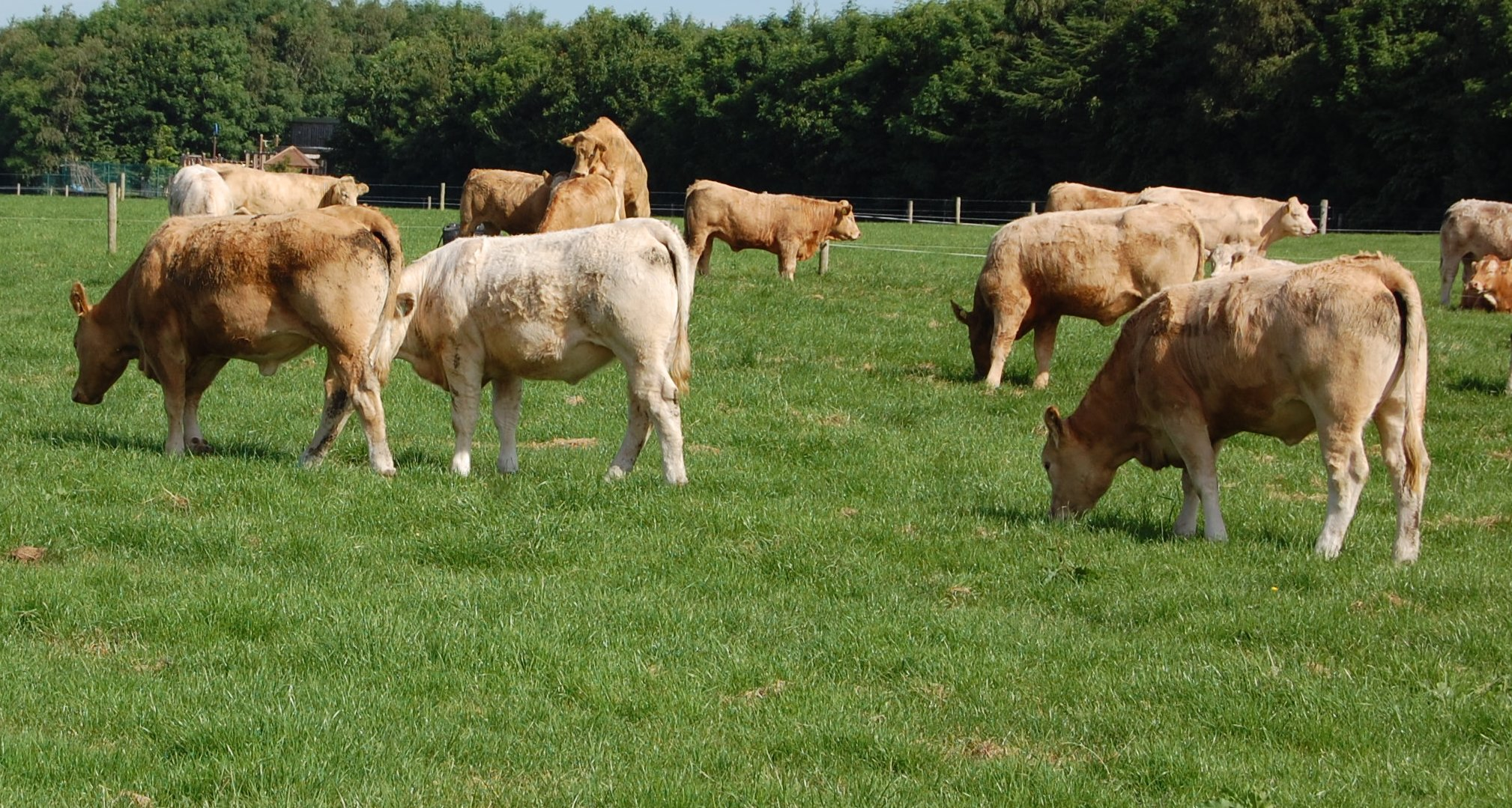 Cattle grazing at Teagasc Grange (3)