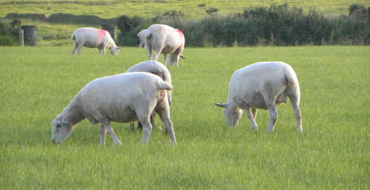 How to manage ewes successfully post weaning