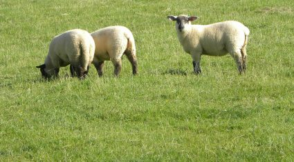 Lamb price cut unwarranted – ICSA