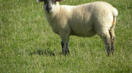 Numbers of Northern lambs coming south for slaughter down 29%