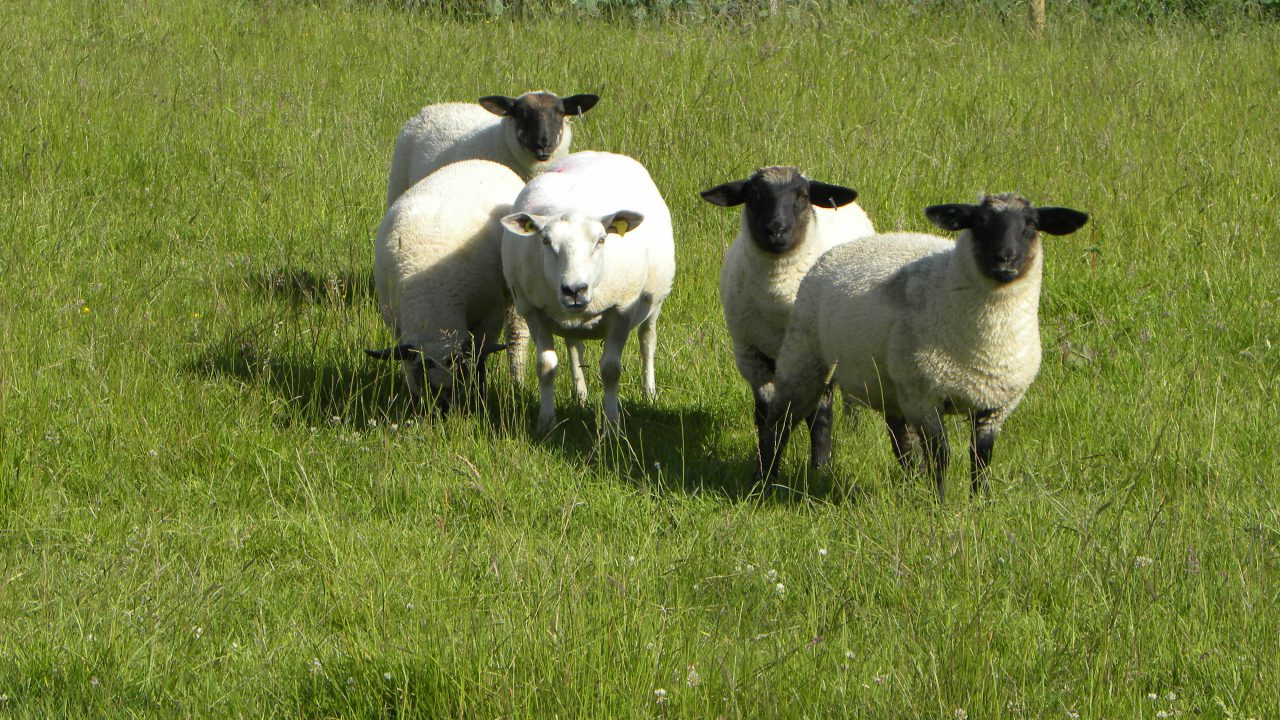 Lambs should be gaining 1.5/kg a week in August