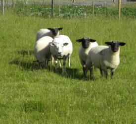 UFU challenges retailers on lamb sourcing