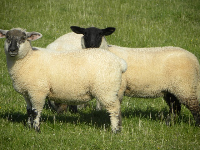 Consumer demand the 'x-factor' for UK lamb prices