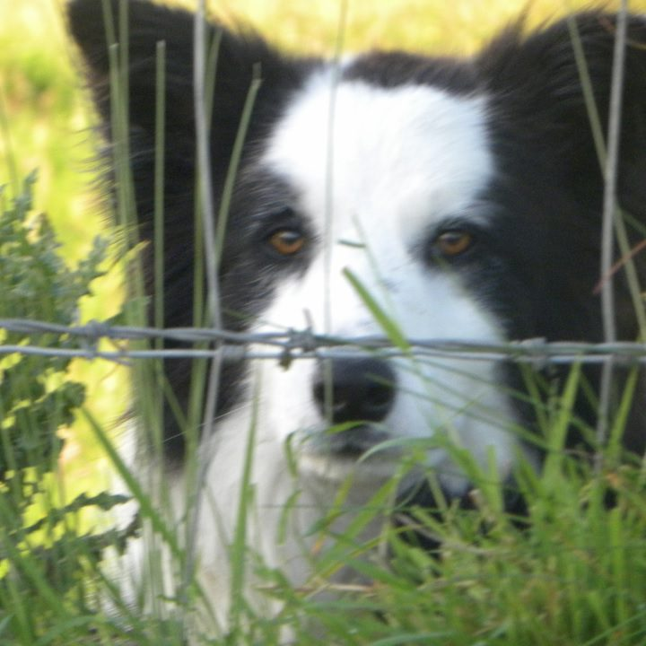 National Sheep Dog Trials kick off today in Donegal