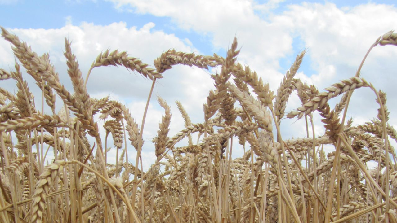 Reduce the risk of acidosis from feeding cereals with XL Grain