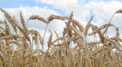 Will cereal producers break even this year?