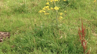 Having problems with ragwort? Here are 4 ways to get rid of the weed