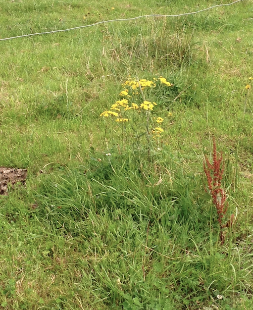 Having Problems With Ragwort Here Are 4 Ways To Get Rid Of