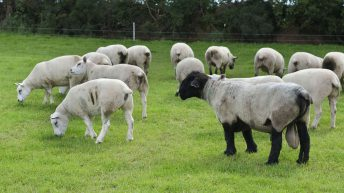 Raddling rams: A must this breeding season