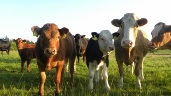 Calf registrations: What breeds are up and which are on the decline?