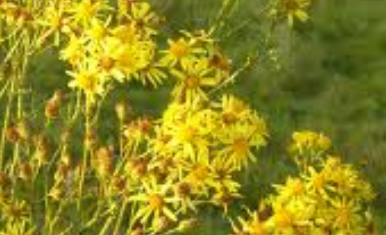 NRA and county councils called on to curb the rampant spread of ragwort