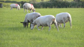 Keep a close eye on under-conditioned ewes as the breeding season edges closer