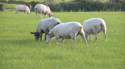 Steep decline in UK lamb consumption