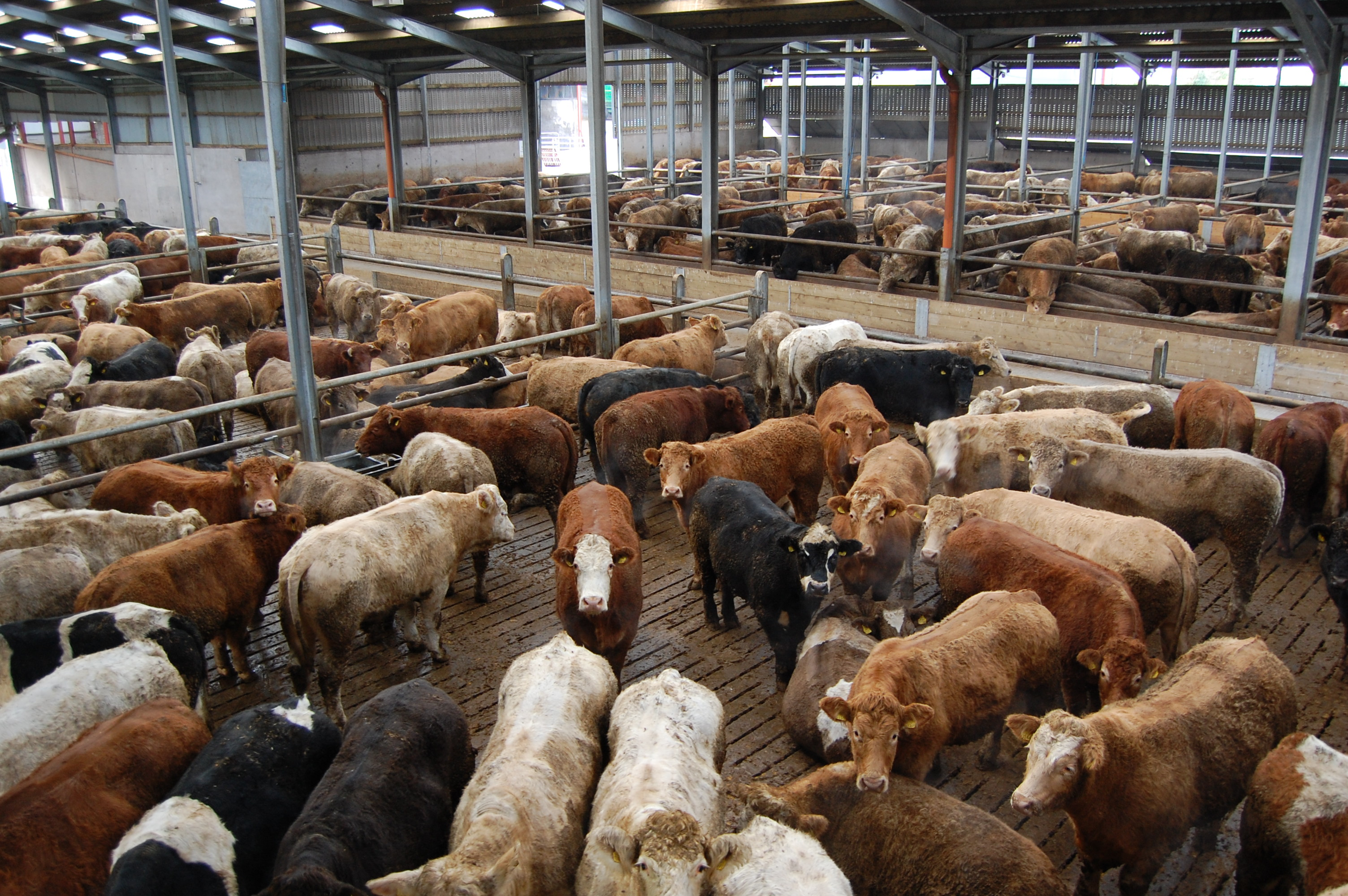 beef cattle shed (3)