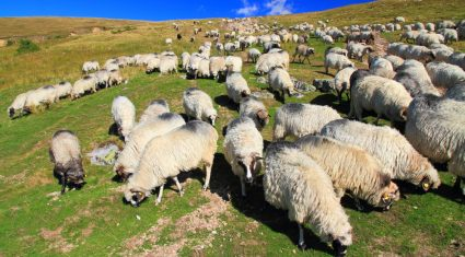 Return to wintry conditions this weekend will impact on feed requirements of hill ewes lambing