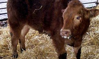 Digestive tract diseases account for 40% of all cattle deaths