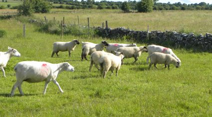 Technology lets farmers email pictures of sheep dung for worming analysis and advice