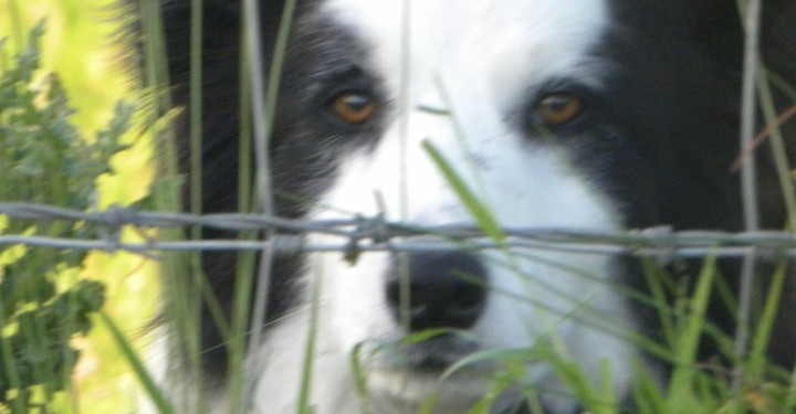 P45s could be on the way for sheepdogs