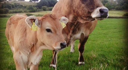 Aubrac cattle sale at Tuam mart Easter Monday