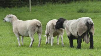 Preparing for the breeding season on sheep farms