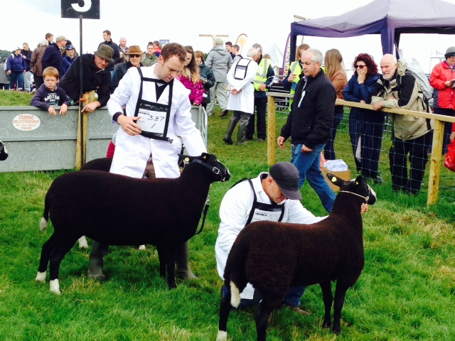 Tullamore Show – Sheep results