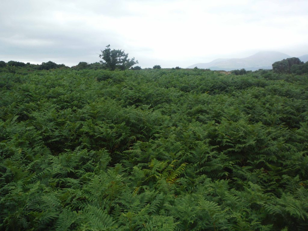 Highly infested bracken area.