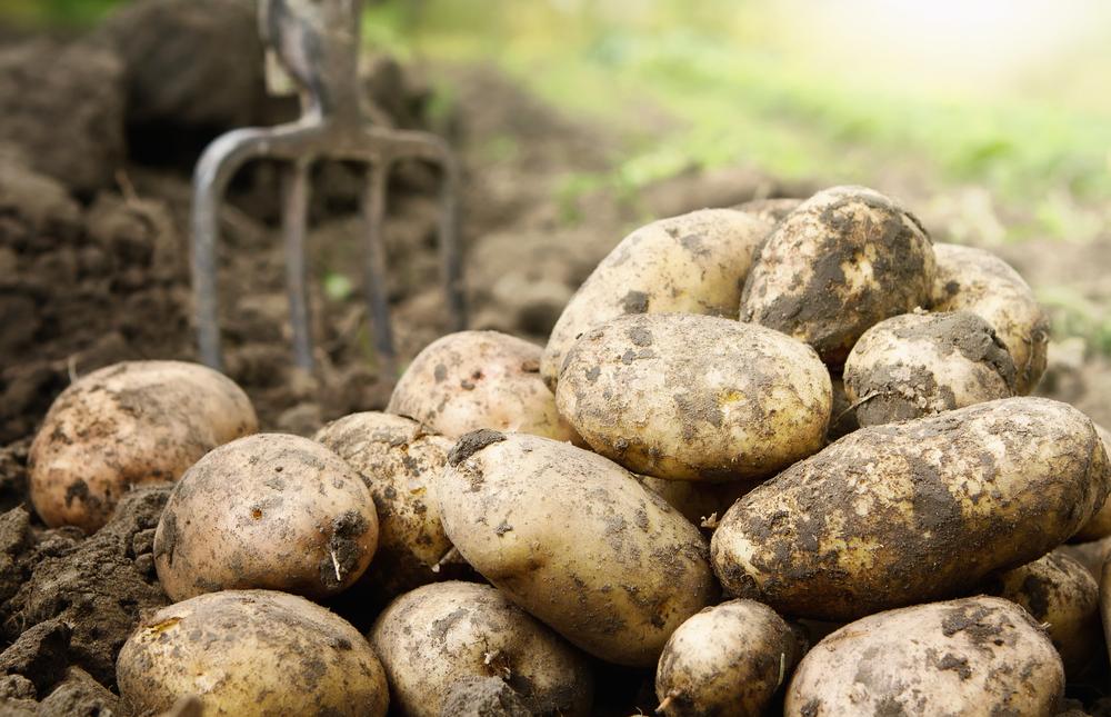 Favourite vegetable potato