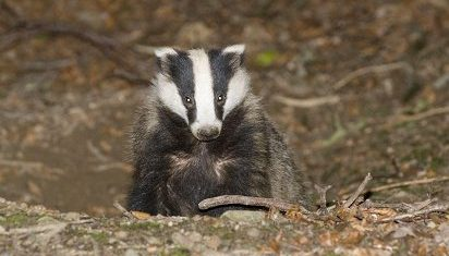 Wildlife group's legal bid to halt UK badger cull fails