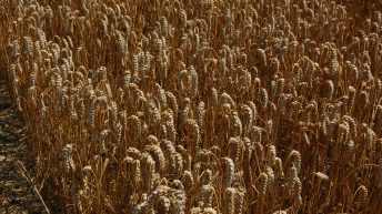 Spring barley yields above average according to the AHDB