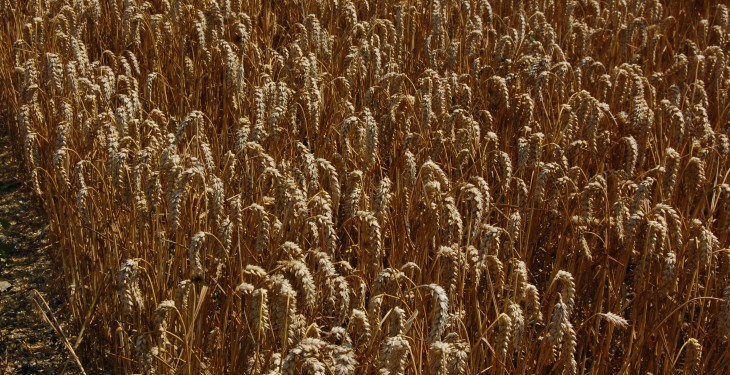 Record volumes of wheat milled by UK millers