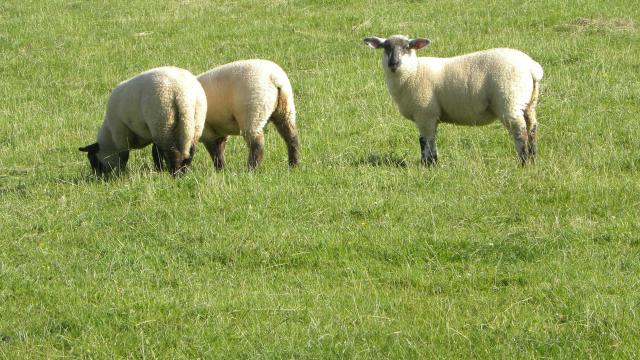 Lamb performance likely to struggle in September