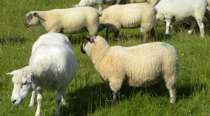 Upcoming Muslim festival to help sheep trade