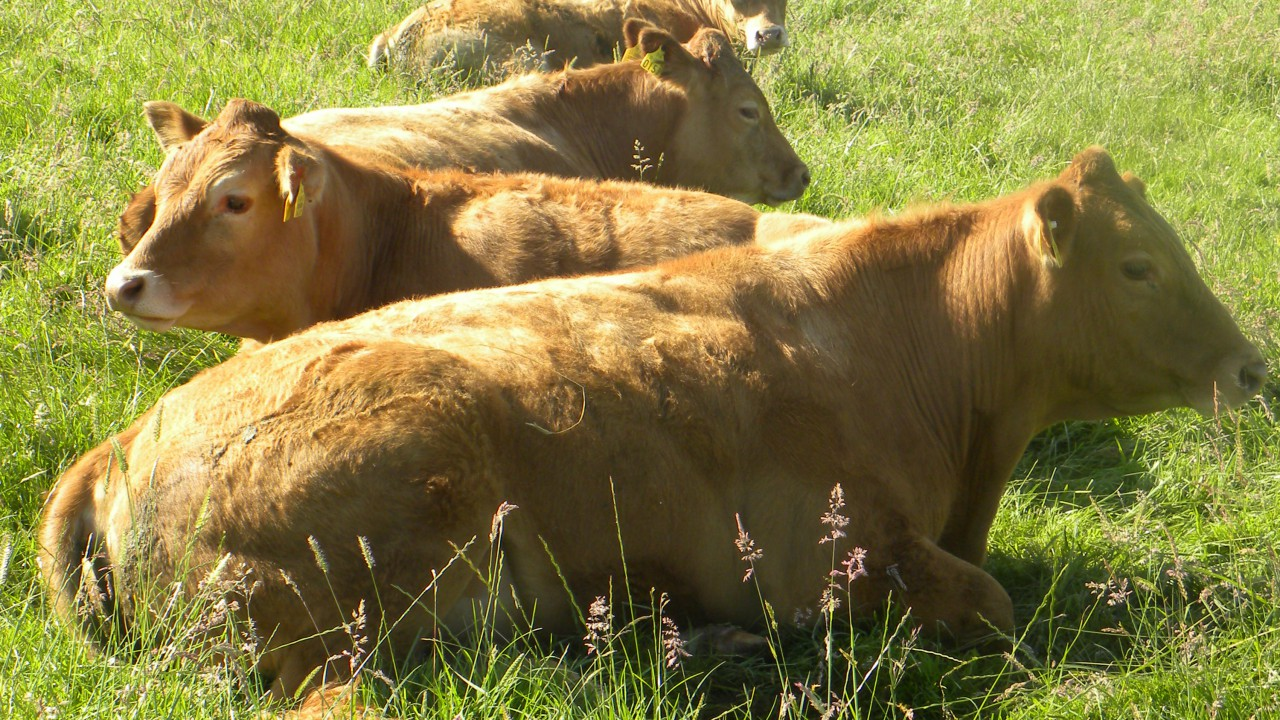 60% of the UK's beef exports go to Ireland and the Netherlands