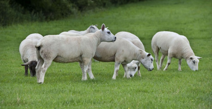 Good management pre-breeding vital on sheep farms