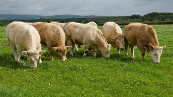 Replacement index changes to have little impact –  Charolais Cattle Society