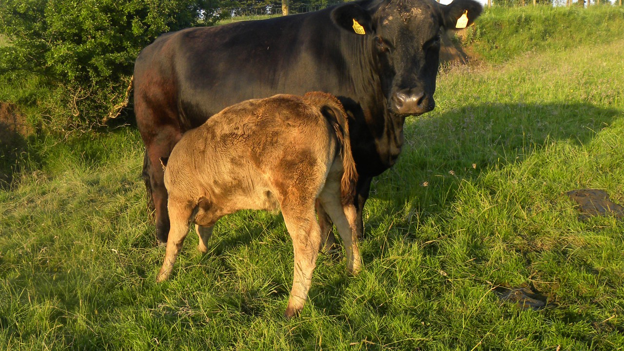 Cows have individual 'calls' for their calves, research finds