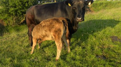 Damp October brings increased risk of grass tetany
