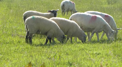 Top sheep farmers rearing 14 lambs/ha – Teagasc