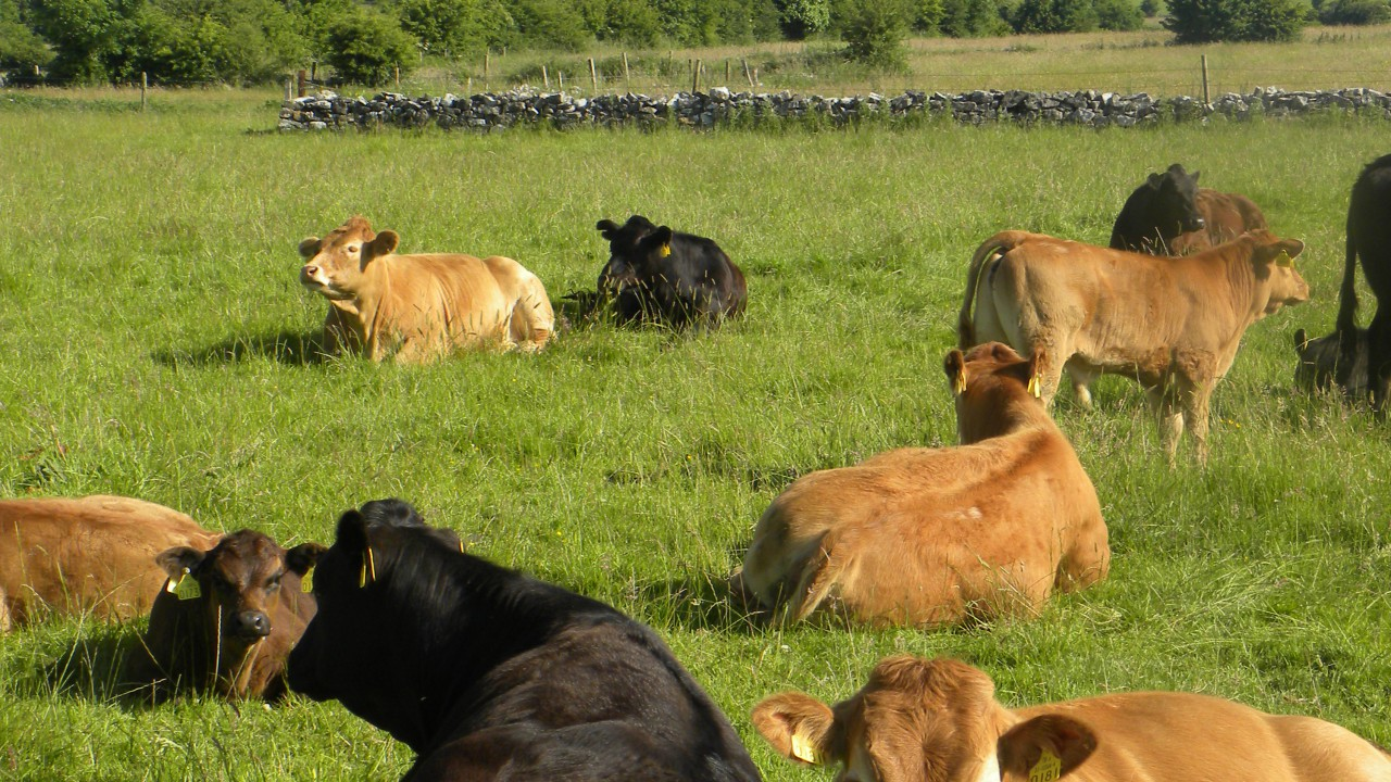 Fluke still affecting 1 in 5 animals despite dry year