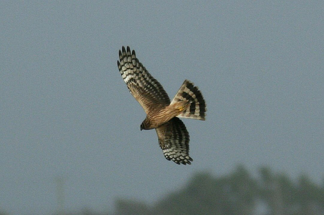 Over €3 million paid out in year 3 of Hen Harrier Project